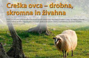 Creška ovca - drobna, skromna in živahna